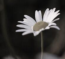 Solo Daisy by JenB