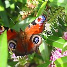 Peacock Butterfly by Mike Paget