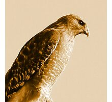 Portrait of a Red-Shouldered Hawk  #1 Photographic Print