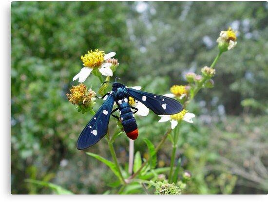 Polka-dotted Wasp Moth by May Lattanzio