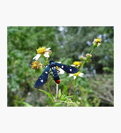 Polka-dotted Wasp Moth Photographic Print