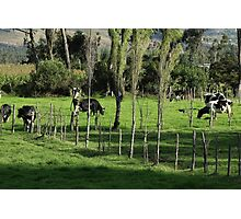 Herd of Holstein Cows Photographic Print