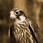 Falcon in Sepia by Wendy Mogul