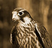 Falcon in Sepia by AngelPhotozzz