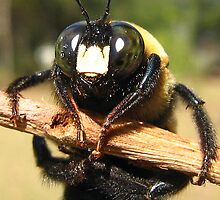 Carpenter Bee by Heavenandus777