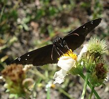 Zarucco Duskywing on Bidens alba by May Lattanzio