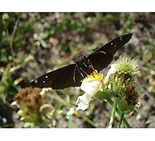 Zarucco Duskywing on Bidens alba Photographic Print