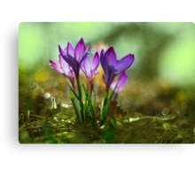 Morning impression with crocuses Canvas Print