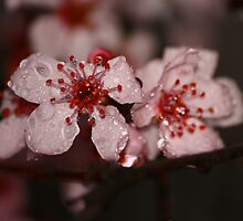 Chinese cherry tree blossom by gregorydean