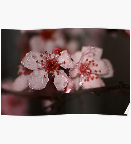 Chinese cherry tree blossom Poster