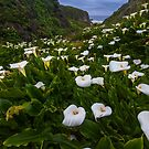 Big Sur Garrapata Beach Calla Lilies by photosbyflood