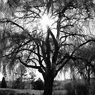 Sun through a Willow Tree - Black&White by TLWhite