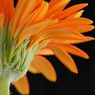 gerbera by laurav