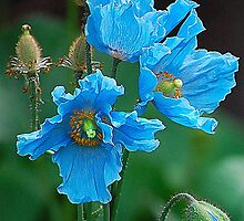 Himalayan Blue Poppies by Joan  Hoffman
