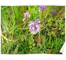 Texas Toadflax Poster