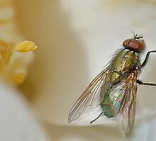 Another Fly. by relayer51