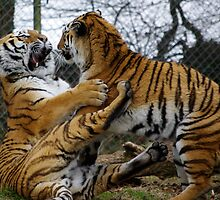 Tiger Tussle by Chris Edwards
