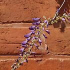 Brick Wisteria by kalaryder