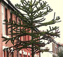 Monkey Puzzle Tree 20foot plus by Barry Norton