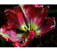Parrot tulip Photographic Print