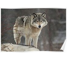 Dominant Wolf Poster