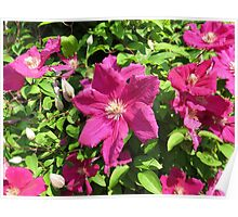 Sunkissed Clematis Blossoms Poster
