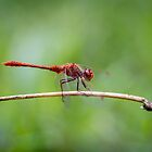 Red Dragonfly by Keith G. Hawley