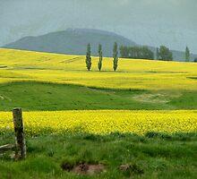 Fields of linseed flower by Karen Doidge