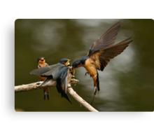 Swallows Feeding Canvas Print