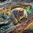 Bushtail Possum by Paul Amyes