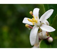 Lemon Flower Photographic Print