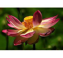 Lotus Lily - Botanic Gardens Adelaide Photographic Print