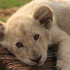 White Lion cub by Keith Jones