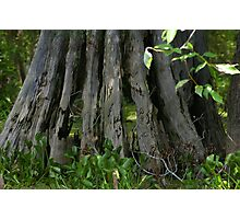 Hollowed Cypress Photographic Print