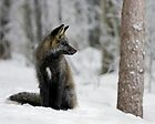 Silver Fox in Snow by A.M. Ruttle