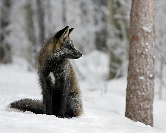 Silver Fox in Snow by A.M. Ruttle