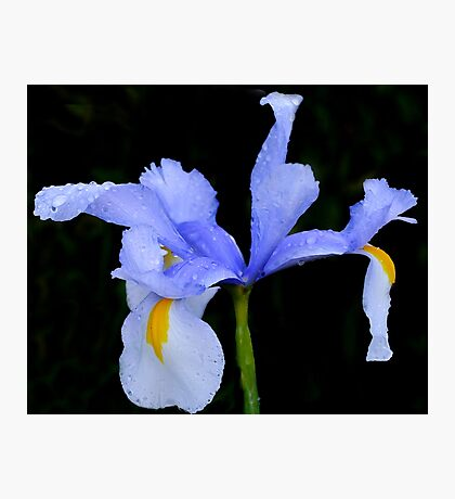 Iris in Blue......... Photographic Print