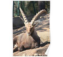 Portuguese Ibex Poster