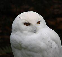 PNW Raptor - Snowy Owl by tkrosevear
