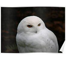 PNW Raptor - Snowy Owl Poster
