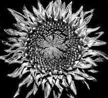 echinacea by lastgasp