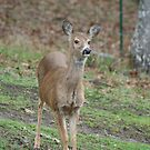 White tail doe by SKNickel