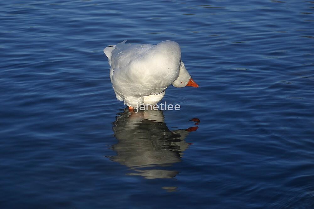Goose Yoga by janetlee