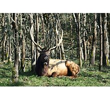 Roosevelt Elk Photographic Print