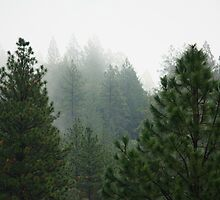 Pine trees in the fog by gregorydean