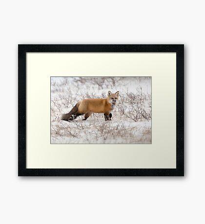 Red Fox Listening Framed Print
