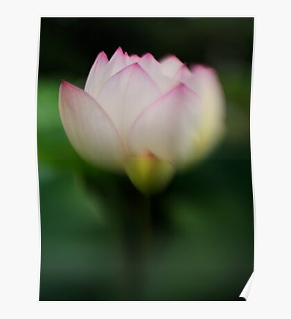 Pink tipped Lotus with Lensbaby Poster