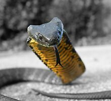 Select colouring2 Black and Yellow Tiger snake by Thow's Photography