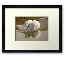 Swan with attitude Framed Print