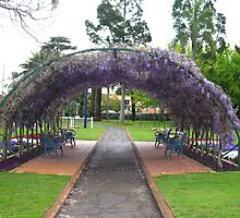 Wisteria vine growing over a large archway, Laurel Bank Park, Toowoomba. Qld. Australia by Marilyn Baldey